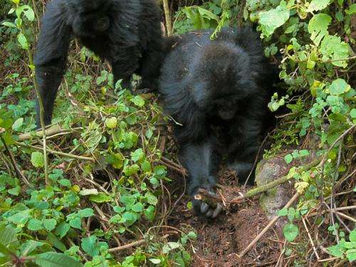 gorillasfilm.jpg